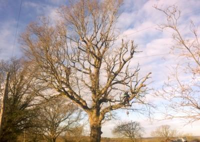 Tree-Surgery-131