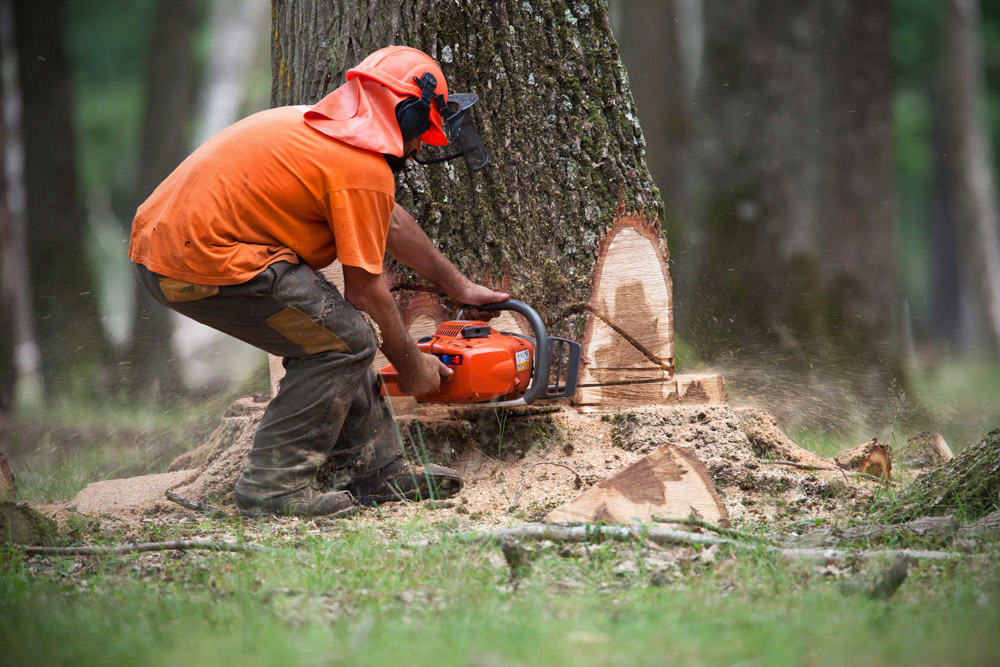 Tree Felling by Experienced tree surgeon
